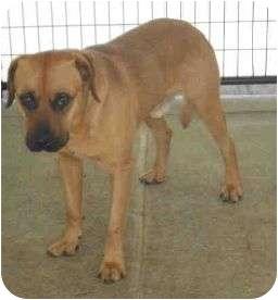 Labrador Retriever/Rottweiler Mix Dog for adoption in Yuba City, California - Unnamed