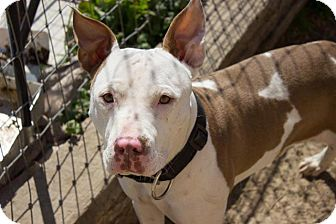 American Pit Bull Terrier/Pit Bull Terrier Mix Dog for adoption in Pilot Point, Texas - MAJOR MACK