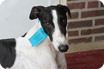 Greyhound Dog for adoption in Philadelphia, Pennsylvania - Carlos