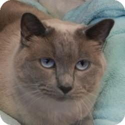 Siamese Cat for adoption in Des Moines, Iowa - Reece