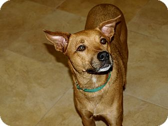 German Shepherd Dog/Labrador Retriever Mix Dog for adoption in Mission Viejo, California - Lilly