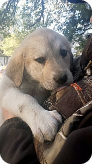 Anatolian Shepherd/Great Pyrenees Mix Puppy for adoption in Weatherford, Texas - *ALLIE*