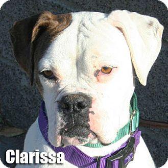 Boxer Dog for adoption in Encino, California - Clarissa