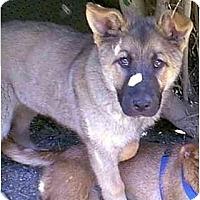 Adopt A Pet :: Bobtail - dewey, AZ