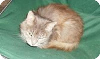 Domestic Shorthair Cat for adoption in East Brunswick, New Jersey - Page
