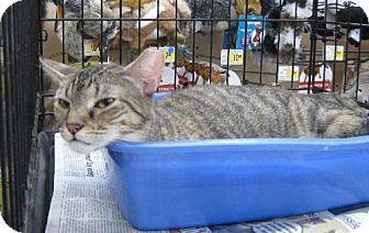 Domestic Mediumhair Cat for adoption in New York, New York - Sahara