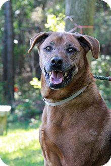 Labrador Retriever Mix Dog for adoption in Brookhaven, New York - Red