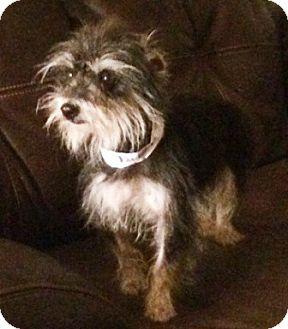 Yorkie, Yorkshire Terrier/Schnauzer (Miniature) Mix Dog for adoption in Oswego, Illinois - Olive