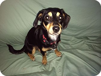Beagle/Terrier (Unknown Type, Small) Mix Puppy for adoption in Baltimore, Maryland - Spunky