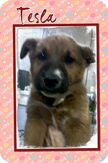 German Shepherd Dog Mix Puppy for adoption in Apache Junction, Arizona - Tesla