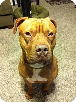 Dogue de Bordeaux/Pit Bull Terrier Mix Dog for adoption in Seahurst, Washington - Chumlee