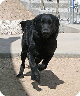 Border Collie/Shepherd (Unknown Type) Mix Dog for adoption in Yucca Valley, California - Gena Susan Mabell