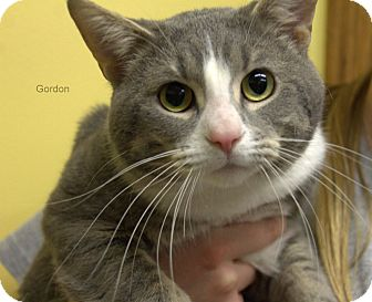 Domestic Shorthair Cat for adoption in Hibbing, Minnesota - Gorgon