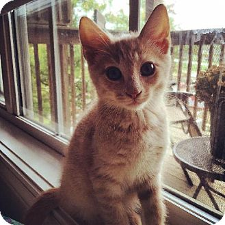 Domestic Shorthair Kitten for adoption in Wilmore, Kentucky - Prince William