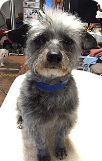 Terrier (Unknown Type, Small) Mix Dog for adoption in Tijeras, New Mexico - Greyson