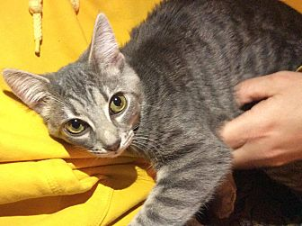 Egyptian Mau Kitten for adoption in Albemarle, North Carolina - Fuzzy Girl