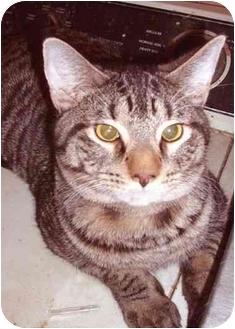 Ocicat Cat for adoption in New York, New York - Tarzen