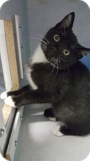 Domestic Shorthair Kitten for adoption in Cody, Wyoming - Lazy Boy