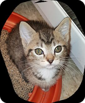 Domestic Shorthair Kitten for adoption in Tumwater, Washington - Frappuccino