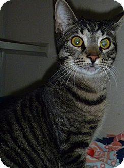 Domestic Shorthair Cat for adoption in Hamburg, New York - Whiskers