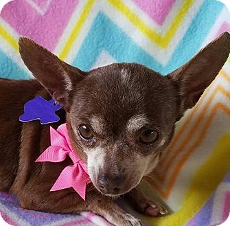 Chihuahua Mix Dog for adoption in Houston, Texas - Nutella