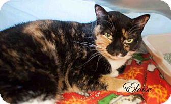Domestic Shorthair Cat for adoption in Middleburg, Florida - Eloise