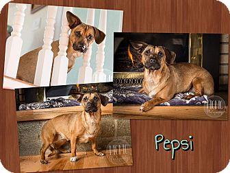 Miniature Pinscher/Chihuahua Mix Dog for adoption in Jerome, Idaho - Pepsi