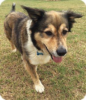 Spaniel (Unknown Type)/English Shepherd Mix Dog for adoption in Stephenville, Texas - Maria
