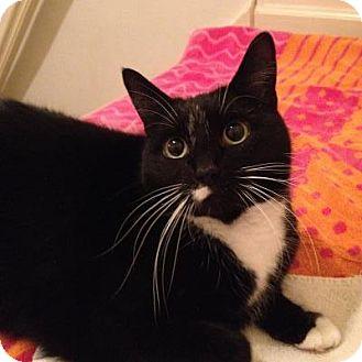 Domestic Shorthair Cat for adoption in Trenton, New Jersey - Puma (NR)