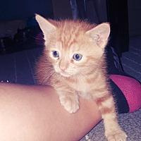 Adopt A Pet :: Pumpkin - Culver City, CA