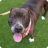 Adopt A Pet :: Brenda - New York, NY