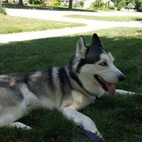 Adopt A Pet :: Fenris - Shingleton, MI