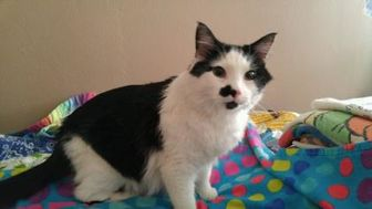 Domestic Longhair/Domestic Shorthair Mix Cat for adoption in Owatonna, Minnesota - Romeo