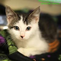 Adopt A Pet :: Maestro Bingo - Boone, NC