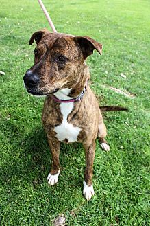 Pit Bull Terrier Mix Dog for adoption in Chino Valley, Arizona - Titus