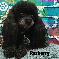 Adopt A Pet :: Razberry - Kimberton, PA