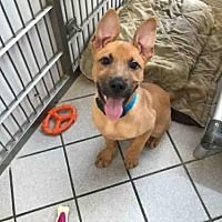 Adopt A Pet :: SCRAPPY - Canfield, OH