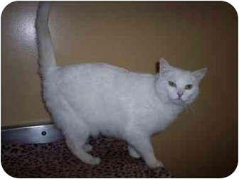 Domestic Shorthair Cat for adoption in Delmont, Pennsylvania - Frosty