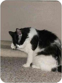 Domestic Mediumhair Cat for adoption in Lutz, Florida - Aretha