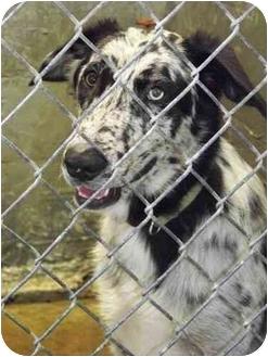 Australian Cattle Dog Mix Dog for adoption in Brenham, Texas - Pablo