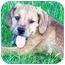 Photo 2 - Schnauzer (Miniature)/Hound (Unknown Type) Mix Puppy for adoption in Osseo, Minnesota - Stanley
