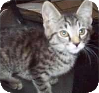 Domestic Shorthair Kitten for adoption in Tampa, Florida - Giselle