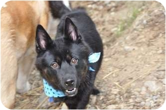 Husky/Schipperke Mix Dog for adoption in Wasilla, Alaska - Jackson