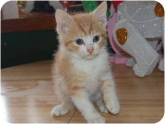 Domestic Shorthair Kitten for adoption in North Judson, Indiana - Blanket
