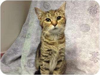 Domestic Shorthair Cat for adoption in Orlando, Florida - Arista