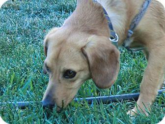 Beagle/Labrador Retriever Mix Dog for adoption in Ft. Collins, Colorado - Duncan