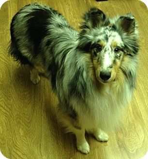 Sheltie, Shetland Sheepdog Puppy for adoption in apache junction, Arizona - Jake