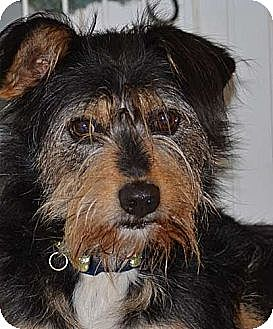Yorkie, Yorkshire Terrier/Border Terrier Mix Dog for adoption in Lodi, California - Elliot