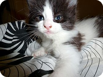 Domestic Longhair Kitten for adoption in Brooklyn, New York - Fluffernutter