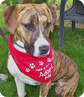 Boxer Mix Puppy for adoption in Grants Pass, Oregon - Rex